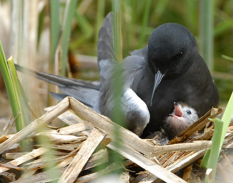 Tern BlackD-168.jpg