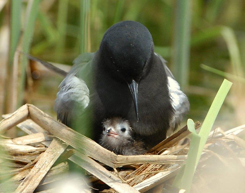 Tern BlackD-151.jpg