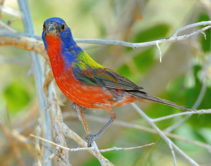 Bunting, Painted (Male)