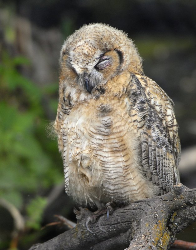 Owl. Great Horned D-040.jpg