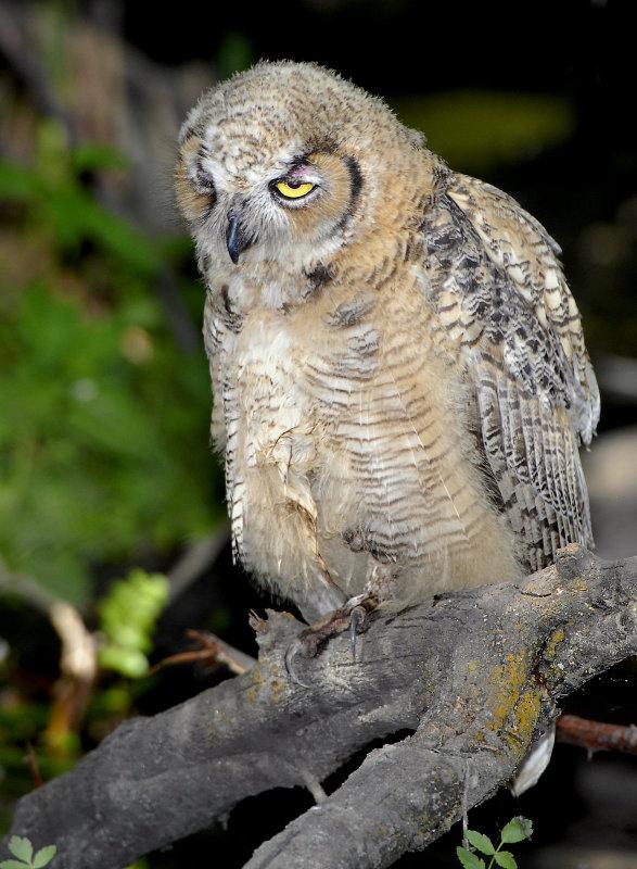 Owl. Great Horned D-042.jpg