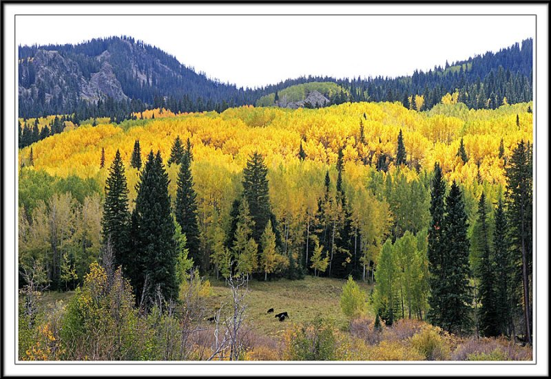Nothing but Gold in Kebler Pass