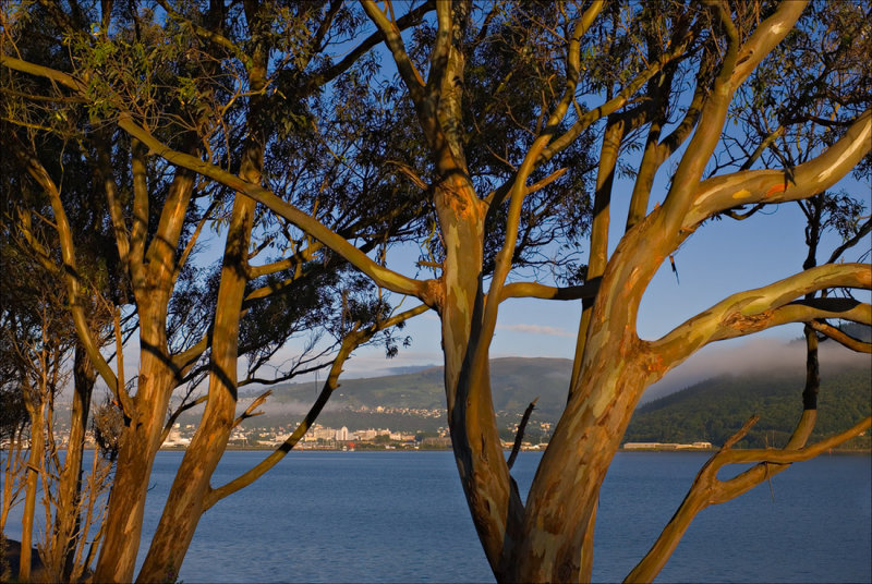 Early Light on the Blue Gums
