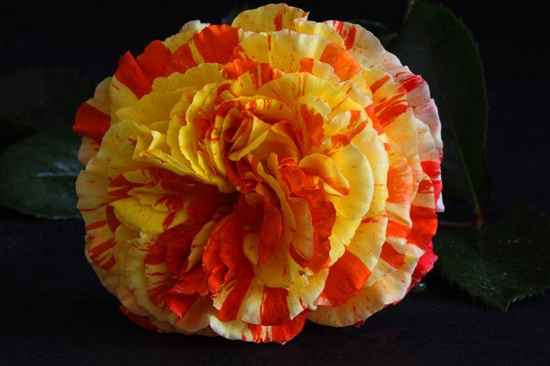 Rose Oranges n Lemons