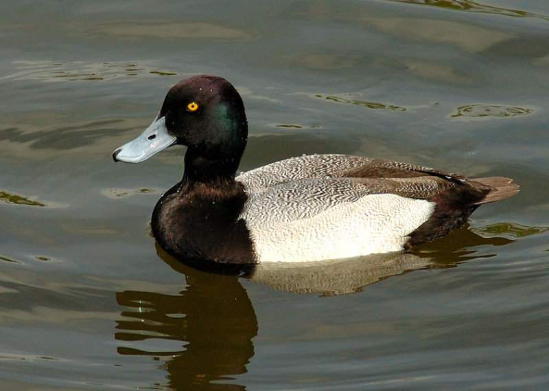 Ring neck Duck