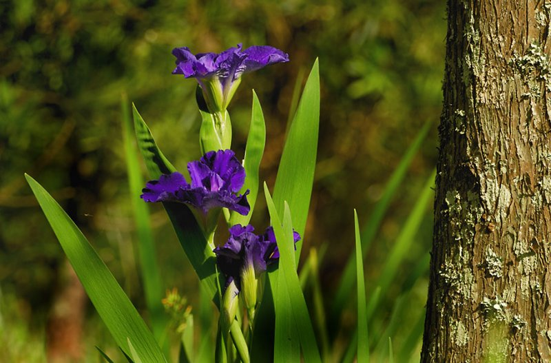 Louisiana Blue Iris