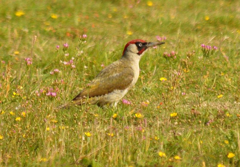 Green Woodpecker, Gunners Park, Shoeburyness.