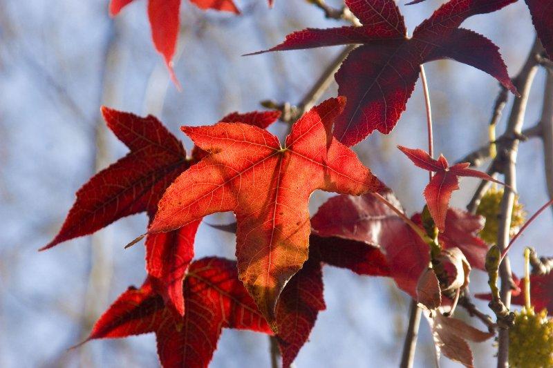 ex red leaves on tree_MG_3961.jpg