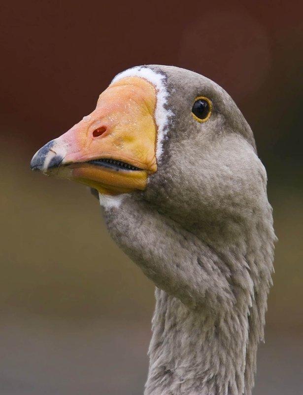goose head with teeth grey orange beak black tip_MG_8525.jpg