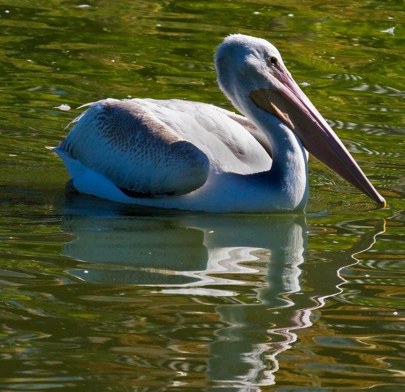 white pelican reflection in green water_MG_0427.jpg
