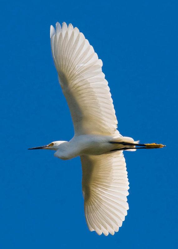 snowy egret flying xray wings_MG_0208.jpg