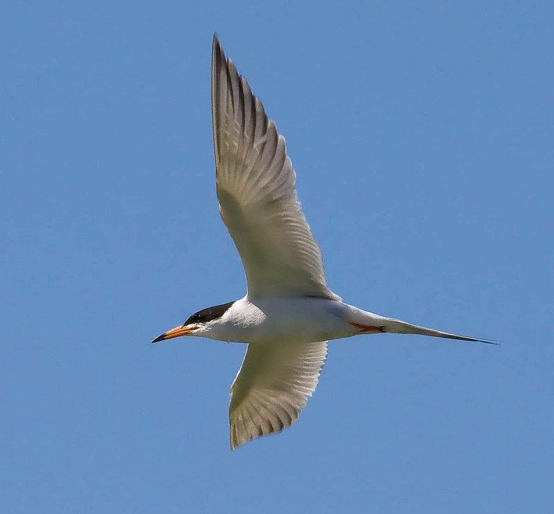 Lesser Tern in flight_MG_5412.jpg