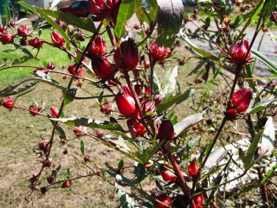 Rosella bush - belongs to mallow/hibiscus family - makes good jam