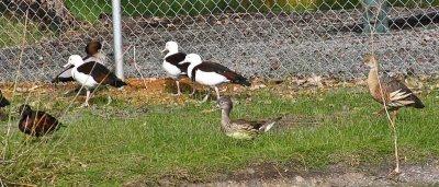 Burdekin ducks, female mandarin and plumed whistler ducks