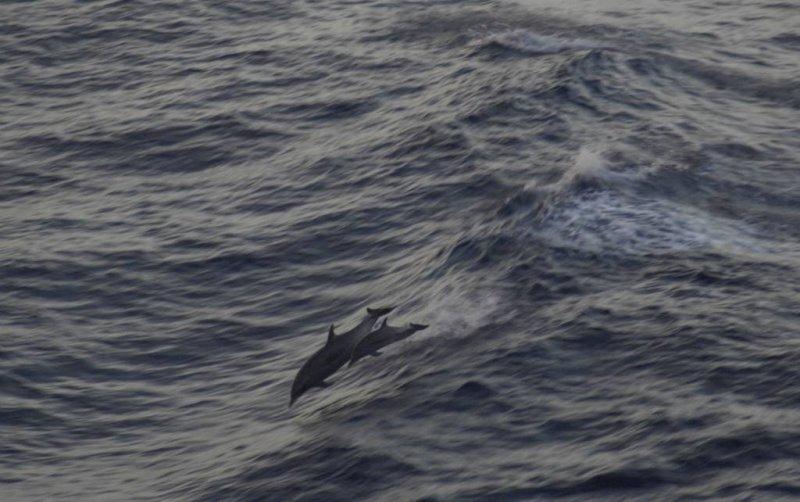 Dolphins in Kona