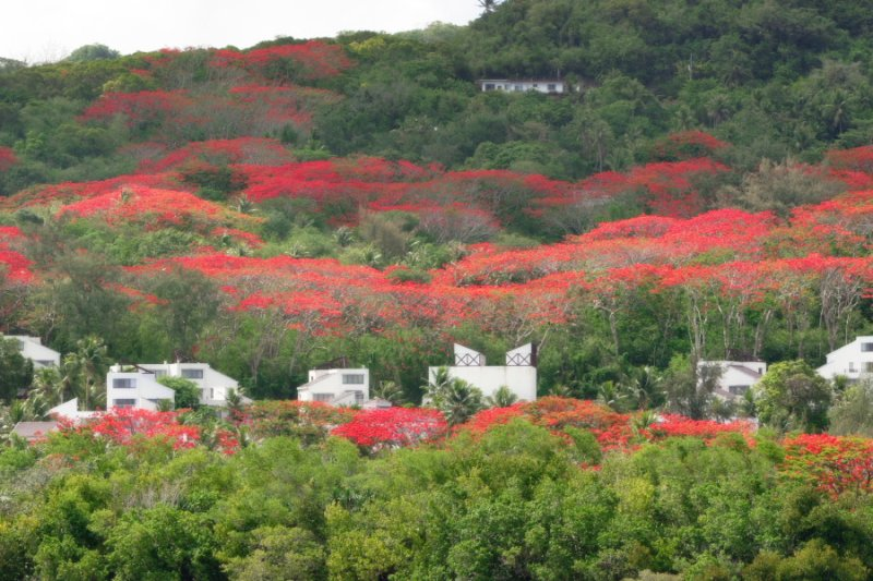 Flame Trees on Hillside