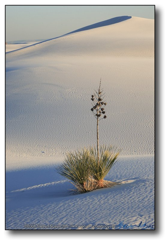 White Sands : Lone Yucca