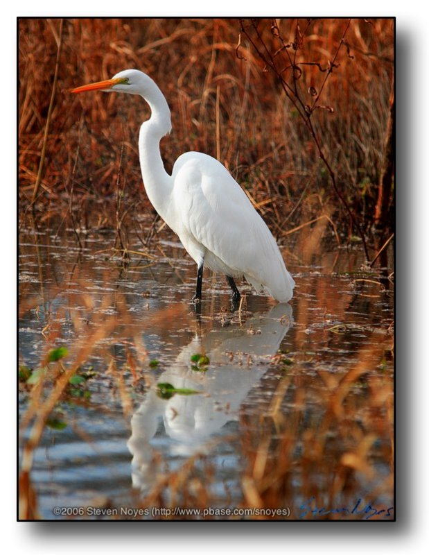 Texas : Egret in Reflection