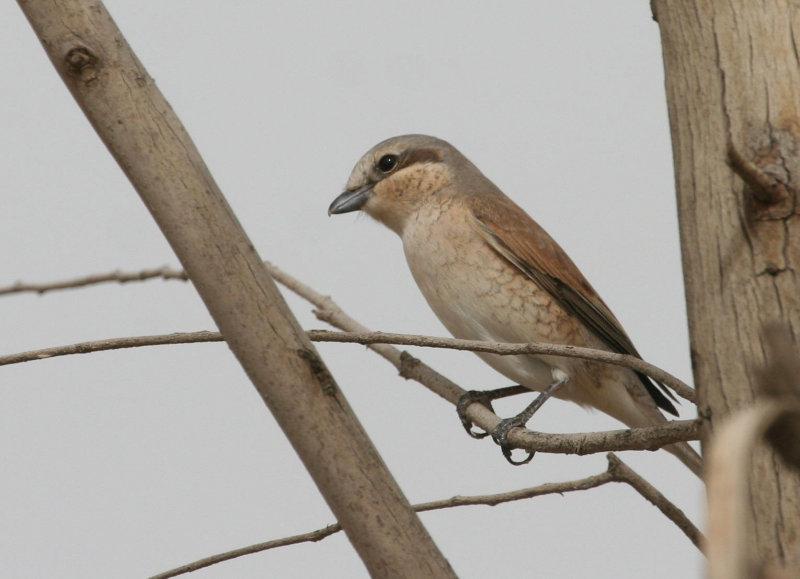 Red-backed Shrike