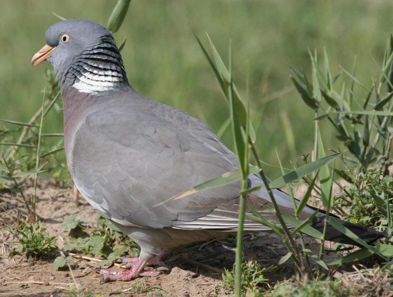 Common Woodpigeon