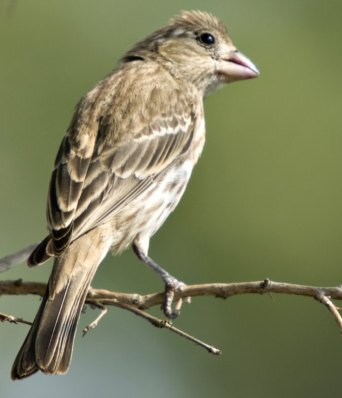 Female baby finch
