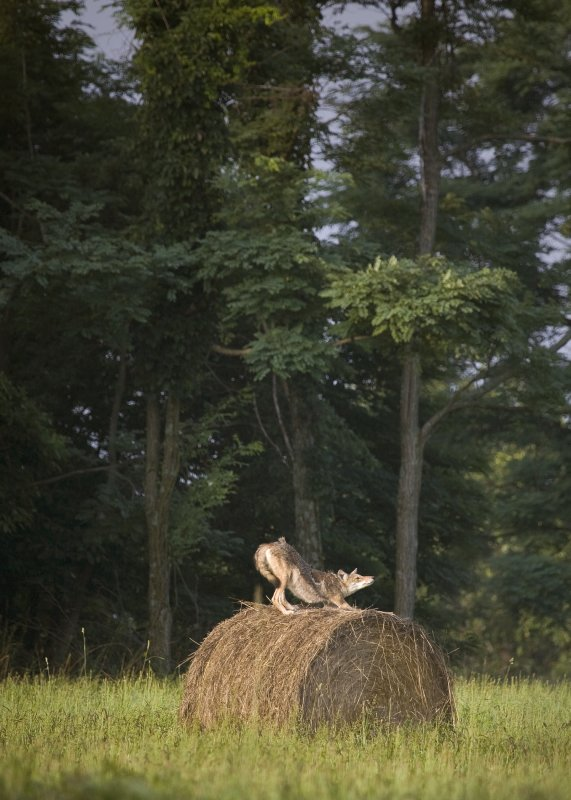 Coyote on Hay Bale Stretching