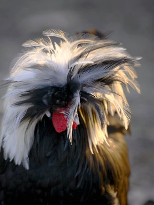 Slacker, Our Polish Rooster