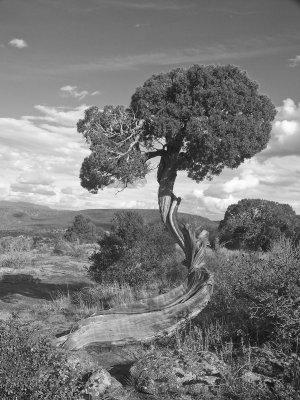 Natural Bonsai Black Canyon of the Gunnison #2