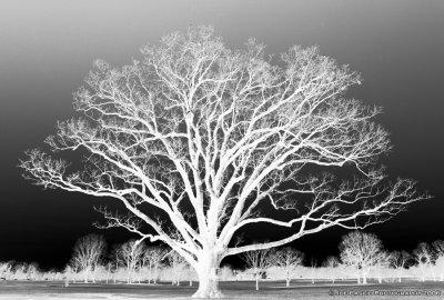 Oak_tree_01.jpg