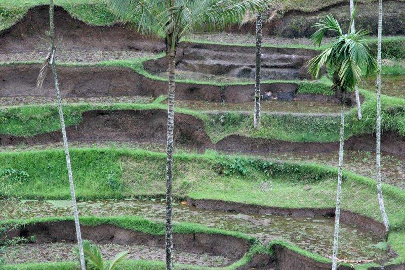 Tegararan rice terrace