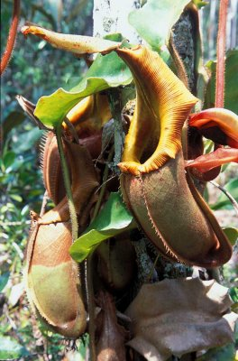 Nephentis Veitchii Hook.jpg