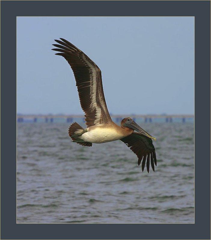 Brown Pelican at Breakwater Drive