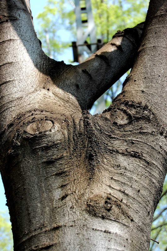 the Tree with the eyes