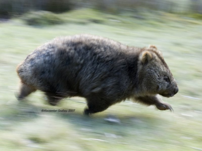 Speeding wombat