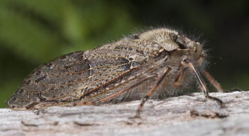 Hairy Cicada, Tettigarcta tomentosa