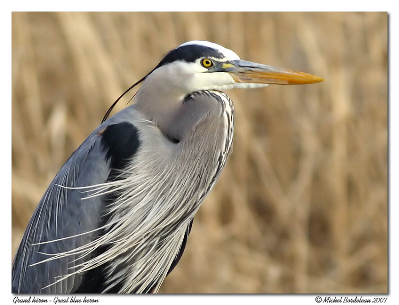 Grand héron <br/> Great blue heron