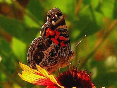4-26-2005 Butterfly on Firewheel.JPG