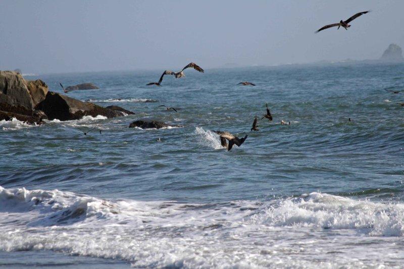 A feeding frenzie on southern Oregon coast
