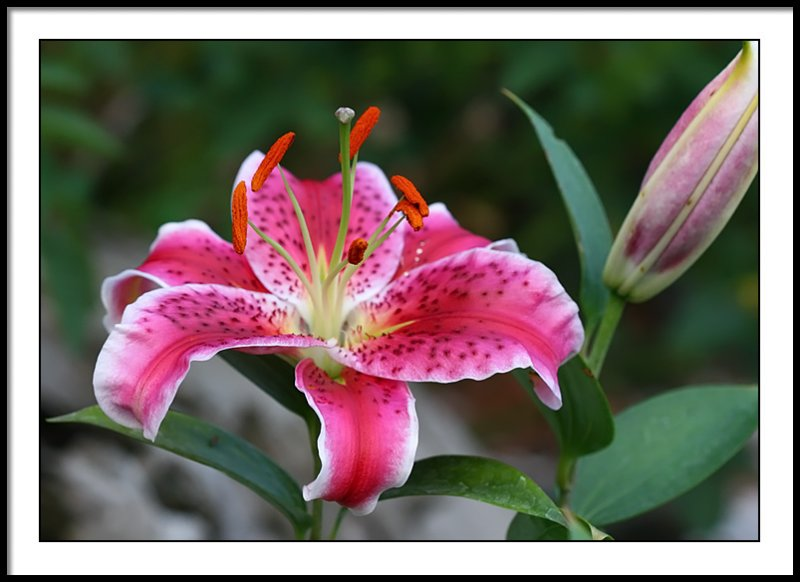 july 17 lily 6