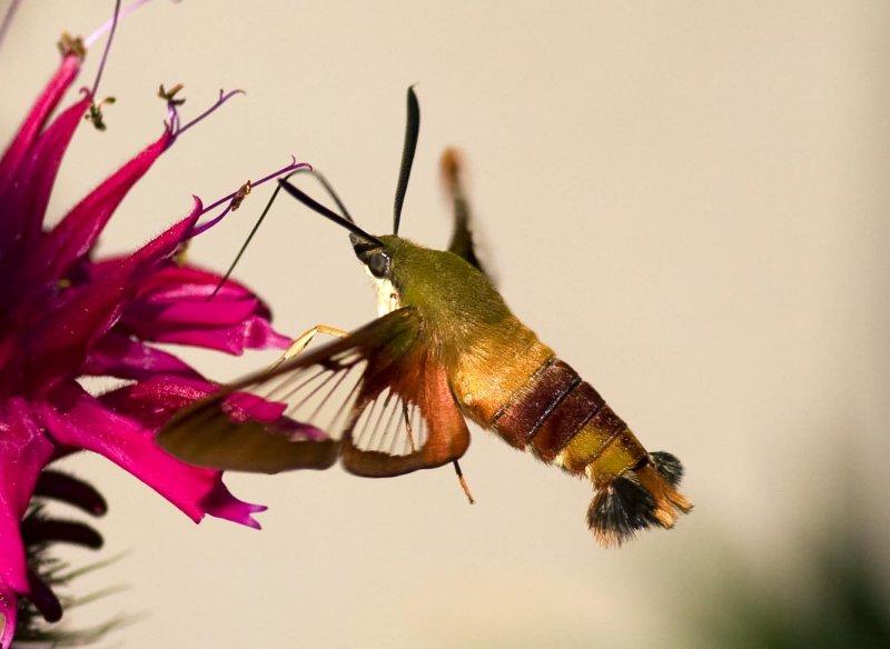 Hummingbird Clearwing (Hemaris thysbe), East Kingston, NH.