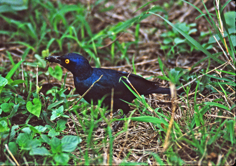 Cape glossy starling with dung beetle