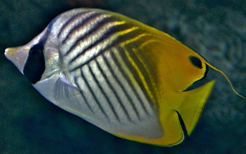 Threadfin Butterfly