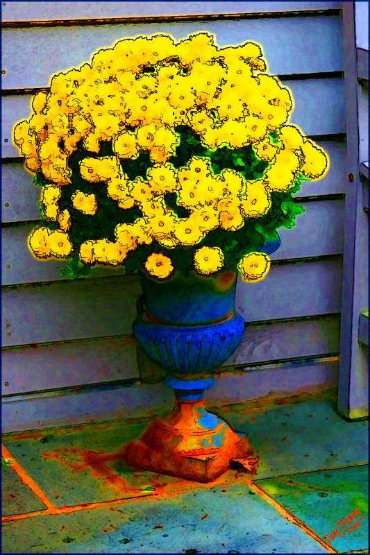 Yellow Mums Hayes Island Effect