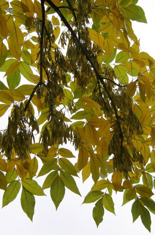 Elm Tree Foliage & Seeds