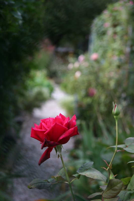 Chrysler Rose at the Head of a Garden Path