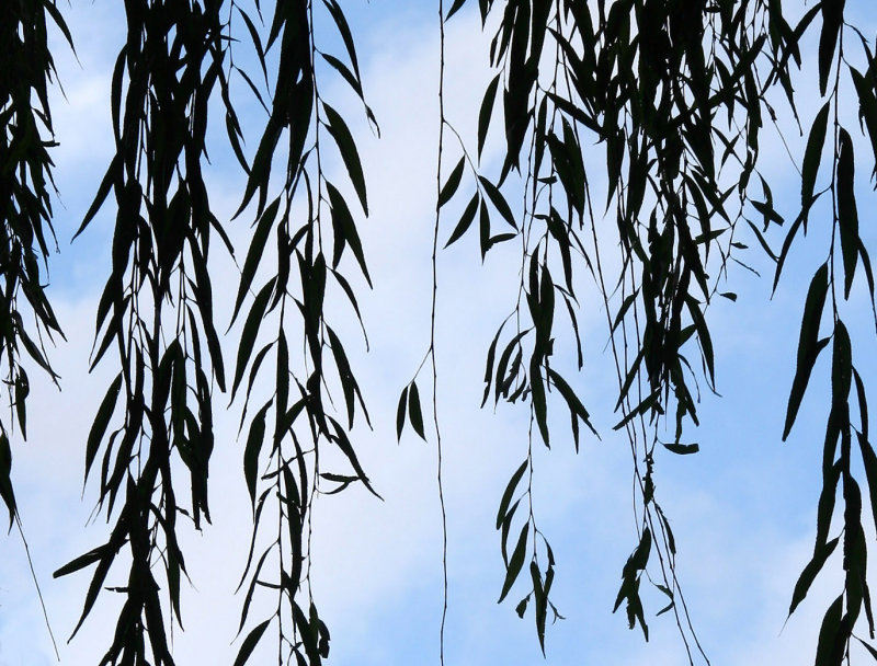 Willow Tree Branches