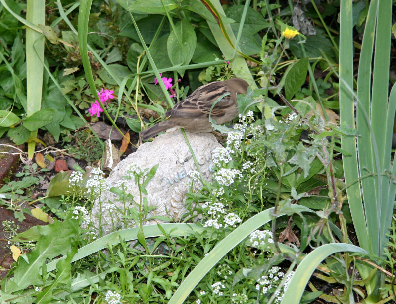 A Sparrow on the Garden Welcome Stone