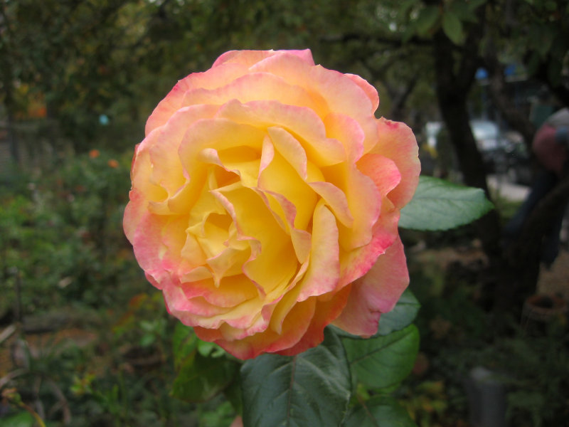 Love & Peace Rose