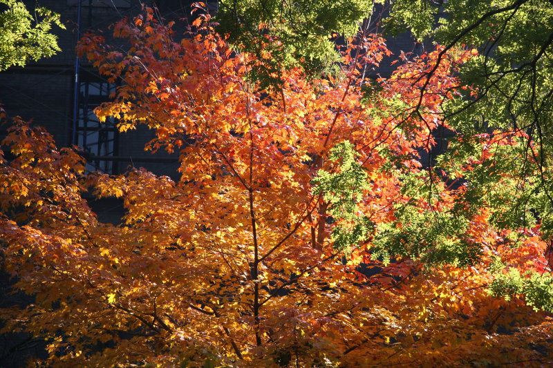 Maple & Scholar Tree Foliage