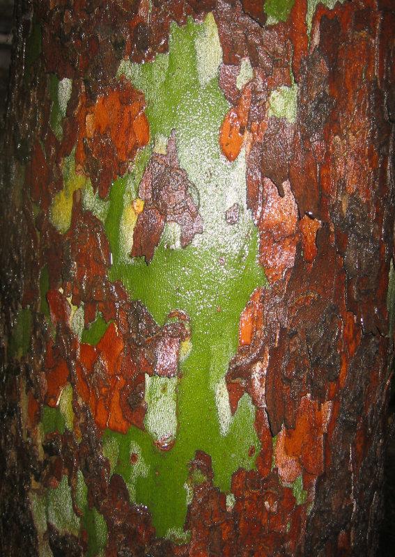 Sycamore Tree Bark in the Rain